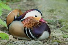 Isolated Mandarin Duck while looking at you - stock photo