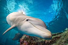 Dolphin underwater on blue ocean background looking at you Stock Photos