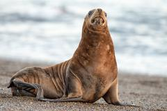 patagonia sea lion portrait seal while sitting on the beach - stock photo