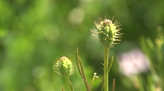 Unopened buds of the plants thistle on a background of green meadows, 4k Stock Footage