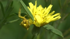 Insect Crab Spider, yellow Misumenoides, sits in flower, macro, 4k Stock Footage