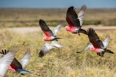 Australia endemic bird cacatua galahs close up portrait Stock Photos