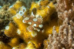 Plectorhinchus clown fish close up portrait Stock Photos