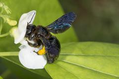 Black hornet bee while sucking pollen from red flower Stock Photos