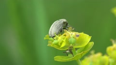 Insect Beetle, Sitona Bagoinae is weevil subfamily in family Curculionidae - stock footage