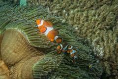Clown fish while looking at you from anemone while diving in Indonesia - stock photo