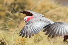 australia red and white parrot cacatua in West coast bush - stock photo