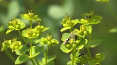 Insect Stratiomyinae, fly sits on green leaf, background meadow Stock Footage