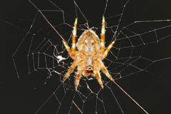 A spider hanging in its web net - stock photo