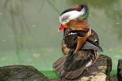 Isolated mandarin duck  on the green water background Stock Photos