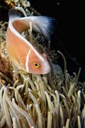 Clown fish while looking at you from anemone while diving in Indonesia Stock Photos