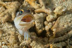 Goby fish close up portrait while scuba diving - stock photo