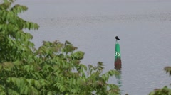 Bird Great black cormorant, sitting on river buoy, view through green trees Stock Footage