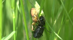 Insect, Spider caught and paralyzed large black beetle, 4k Stock Footage