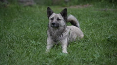 Portrait of gray dog outdoor Stock Footage