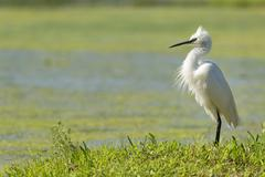 White egret heron portrait on the green swamp background - stock photo