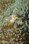 Adult and newborn porcelain crab inside the anemone Stock Photos