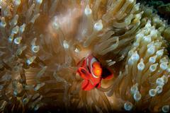 Red Clown fish in anemone with shrimps in Raja Ampat Papua, Indonesia Stock Photos
