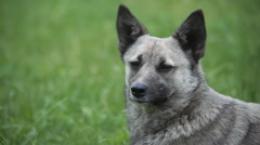 portrait of gray dog outdoor - stock footage