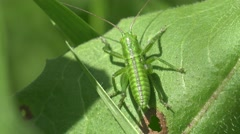Insect, Grasshopper small sitting on green leaf, field, garden Stock Footage