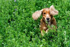 Happy english cocker spaniel while playing in the grass field - stock photo