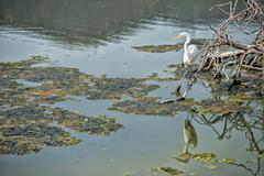 White egret heron while eating a fish on the green swamp background - stock photo