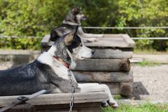 Sled dog while resting Kuvituskuvat