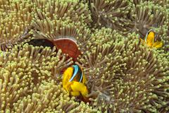 Clown fish in the red and brown anemone Stock Photos