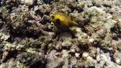 Yellow boxfish underwater Stock Footage