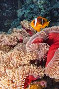 Clown fish in the red and brown anemone - stock photo