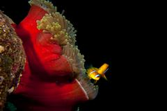 Clown red fish in red anemone in the black background Stock Photos