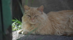 Portrait of red cat outdoor Stock Footage