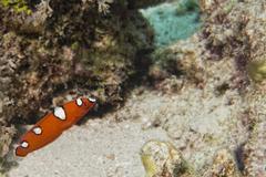 Coris rainbow wrasses fish portrait while diving in Asia Stock Photos