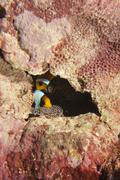 Clown red fish in anemone inside a rock - stock photo