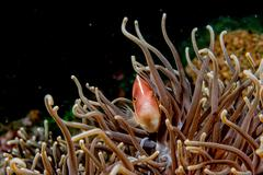 Clown fish portrait while looking at you from anemone tentacles Stock Photos