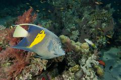 Adult Emperor angel fish - stock photo
