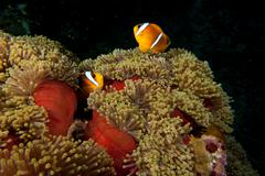 A couple of clown fish in the red and brown anemone over the black background - stock photo