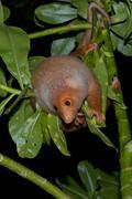 Cuscus indonesian endemic monkey Stock Photos