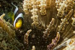 Clown fish while looking at you from anemone while diving in IndonesiaCebu Ph Stock Photos