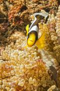 Clown fish while looking at you from anemone while diving in IndonesiaCebu Ph - stock photo