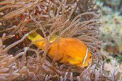 Clown fish portait while looking at you from anemone tentacles - stock photo