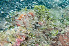 enormous school of very small Glass fishes - stock photo