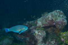 A colorful parrot fish while diving - stock photo