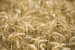 Mature Grain wheat field Kuvituskuvat