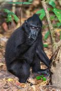 Celebes Sulawesi endemic crested black macaque ape portrait while drinking Stock Photos