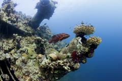 A grouper swimming near ship wreck in red sea Stock Photos