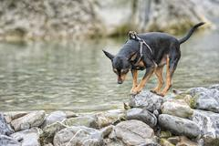 pincher dog while playing in the river - stock photo