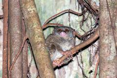 Tarsius small nocturnal monkey hanging on a tree in indonesia forest Stock Photos