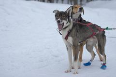 sledding with sled dog in lapland in winter time - stock photo