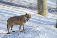 A grey wolf isolated in the snow while looking at you Stock Photos